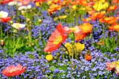 poppy-1346086_640