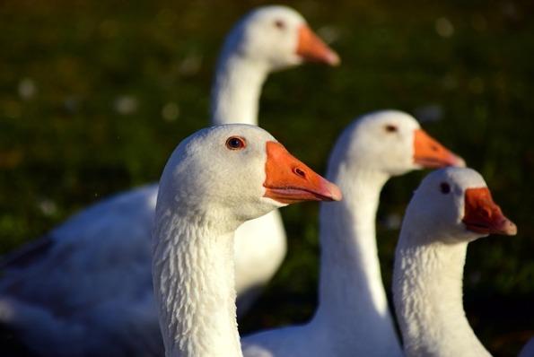 goose-1847907_640