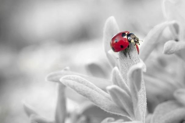 ladybug-796483_640